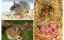 A vida útil dos ratos