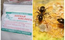 Ácido bórico contra formigas no apartamento e jardim