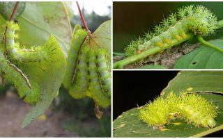 Descrição e fotos de lagartas venenosas perigosas