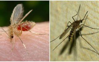 Qual é a diferença entre mosquitos e mosquitos?