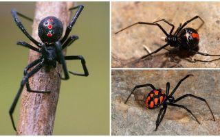Variedades de fotos de aranhas com nomes e descrições