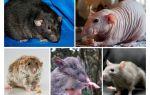 Espécie de rato