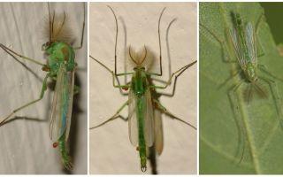 Mosquitos Green Bell (Mosquitos Dergun)