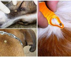 Tick mordida em um cão - sintomas, efeitos e tratamento em casa