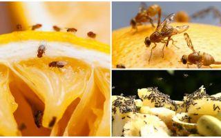 Como se livrar de moscas da fruta na loja de cozinha e remédios populares