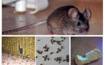 Como lidar com ratos no apartamento