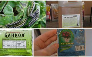 Como se livrar de lagartas nos remédios populares de repolho