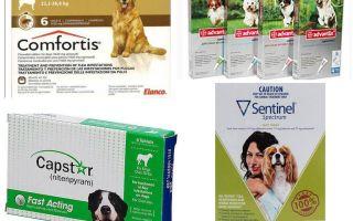 Como se livrar das pulgas em cães, o meio mais eficaz de pulgas