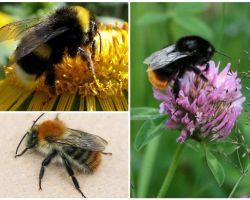 Como é uma abelha?