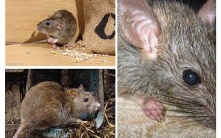 Ratos podem atacar seres humanos