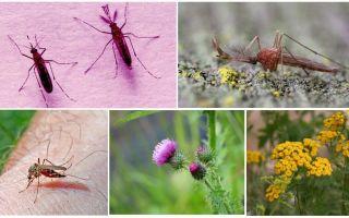 O que os machos e as fêmeas dos mosquitos comem