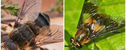 A diferença entre gadfly e cego