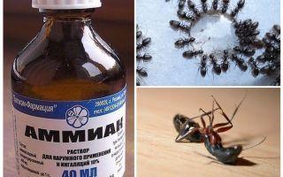 Amônia de formigas e pulgões