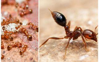 Como se livrar de pequenas formigas vermelhas em um apartamento