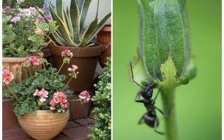 Como remover formigas de um vaso de flores