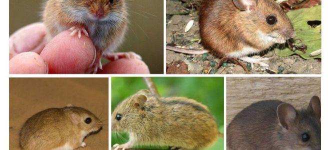 Tipos e tipos de ratos
