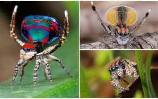 Descrição e foto da aranha pavão