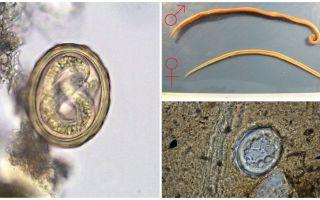O esquema do ciclo de vida do desenvolvimento da lombriga humana