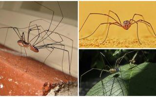 Aranha, mow, com, longo, magra, pernas