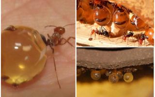 Formigas mel