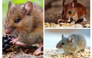 Que ratos comem