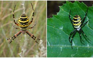 Vespa de aranha com listras amarelas nas costas