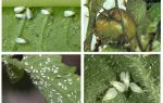 Métodos de lidar com mosca branca em tomates na estufa