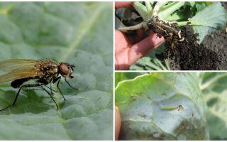 Como lidar com uma mosca de repolho e suas larvas