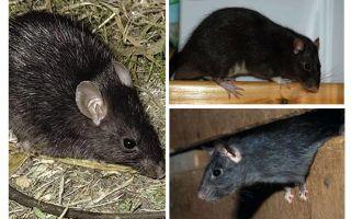 Ratos pretos