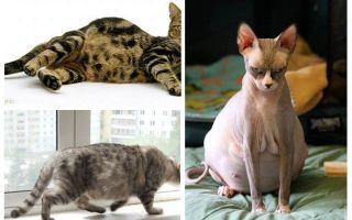Como remover pulgas de uma gata grávida