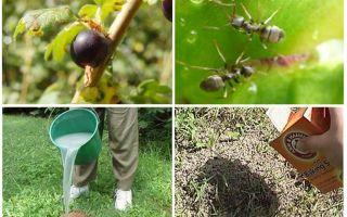 Como lidar com formigas e pulgões em groselhas