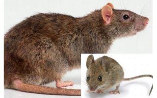 Qual é a diferença entre um rato e um rato?
