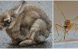 Como salvar coelhos de mosquitos na rua e na coelheira
