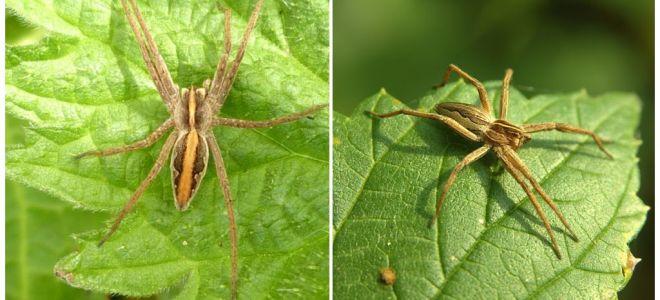 Descrição e fotos das aranhas da região de Saratov