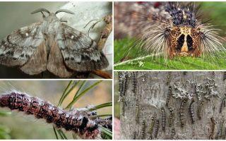 Descrição e foto de uma lagarta e borboleta do bicho-da-seda siberiana