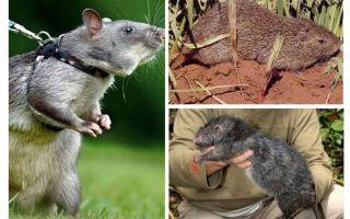 Os maiores ratos do mundo