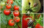 Os tomates processo de escaravelho da batata