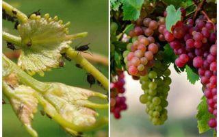 Como lidar com pulgões em meios de folk e compras de uvas