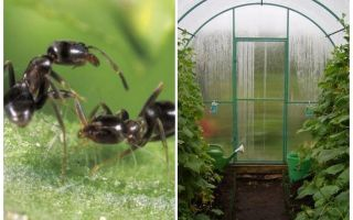 Como lidar com formigas na estufa remédios populares