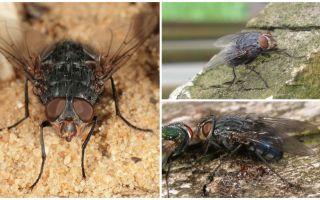 Descrição e foto de uma mosca de carne azul