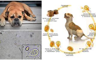 Sintomas e tratamento de Giardia em cães