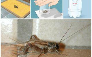 Como retirar grilos de um apartamento ou casa