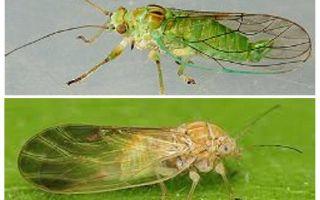 Como se livrar de pulgas de ervas na casa