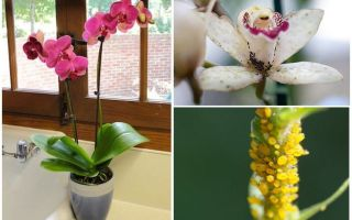 Como lidar com pulgões em orquídeas