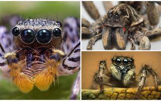 Quantos olhos tem uma aranha?
