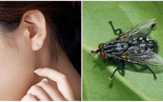 Como tirar uma mosca da orelha em casa
