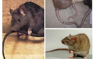 Por que a cauda dos ratos