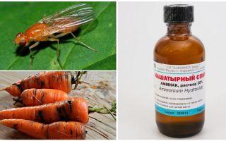 Luta contra a mosca de cenoura com amônia