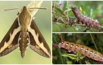 Descrição e foto de traça do falcão do vinho da lagarta