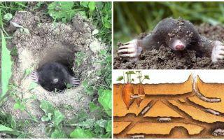 Descrição e fotos da toupeira